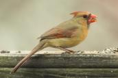 Cardinal (female). Cardinalis cardinalis. Canon 5D III, 2.8 70-200 mm, 2x III. F 5.6 1/640 ISO, 1600, 400 mm.