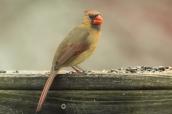 Cardinal (female). Cardinalis cardinalis. Canon 5D III, 2.8 70-200 mm, 2x III. F 5.6 1/800 ISO, 1600, 400 mm.