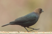 Brown-headed Cowbird. Molothrus ater. Canon 5D III, 2.8 70-200mm, 2x III. F 5.6, 1/400, ISO 1600, 400 mm.