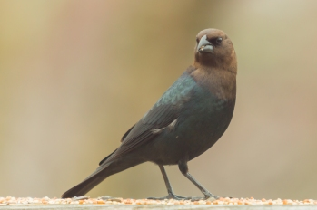 Brown-headed Cowbird. Molothrus ater. Canon 5D III, 2.8 70-200mm, 2x III. F 5.6, 1/250, ISO 1600, 400 mm.