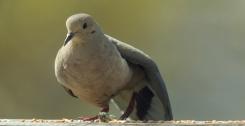 Mourning Dove. Zenaida macroura. Canon 5D III, 2.8 70-200 mm, 2x III. F 5.6, 1/1600, ISO 400, 400 mm.