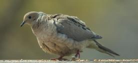Mourning Dove. Zenaida macroura. Canon 5D III, 2.8 70-200 mm, 2x III. F 5.6, 1/800, ISO 400, 400 mm.
