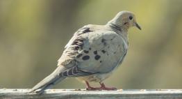 Mourning Dove. Zenaida macroura. Canon 5D III, 2.8 70-200 mm, 2x III. F 5.6, 1/500, ISO 400, 400 mm.