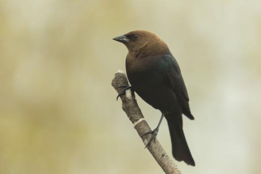 Brown-headed Cowbird. Molothrus ater. Canon 5D III, 2.8 70-200, 2x III. F 5.6, 1/200, ISO 400, 400 mm.
