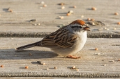 Chipping Sparrow. Spizella passerina. Canon 5D III, 2.8 70-200 mm, 2x III. F 10.0, 1/320, ISO 800, 400 mm.