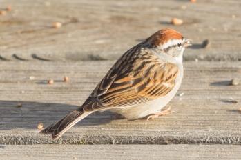 Chipping Sparrow. Spizella passerina. Canon 5D III, 2.8 70-200 mm, 2x III. F 5.6, 1/200, ISO 800, 400 mm.