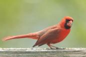 Cardinal. Cardinalis cardinalis. Canon 5D III, 2.8 70-200 mm, 2x III. F 5.6, 1/500, ISO 400, 400 mm.