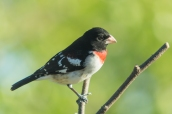 Rose-breasted Grosbeak. Pheucticus ludovicianus. Canon 5D III, 2.8 70-200 mm, 2x III. F 5.6 1/1640, ISO 800, 400 mm.