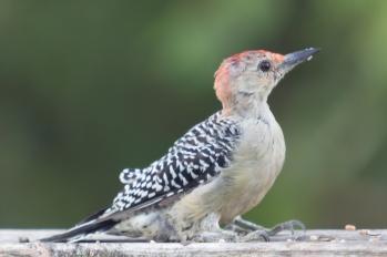 Red-bellied Woodpecker. Melanerpes carolinus. Canon 5D III, 2.8 70-200 mm, 2x III. F 5.6, 1/80. ISO 800, 400 mm.