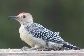 Red-bellied Woodpecker. Melanerpes carolinus. Canon 5D III, 2.8 70-200 mm, 2x III. F 5.6, 1/160. ISO 1600, 400 mm.