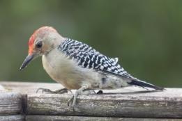 Red-bellied Woodpecker. Melanerpes carolinus. Canon 5D III, 2.8 70-200 mm, 2x III. F 5.6, 1/200. ISO 1600, 400 mm.